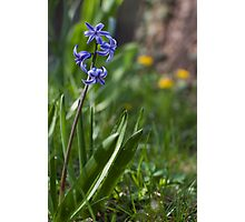 blue hyacinth Photographic Print