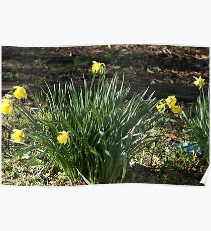 Barbara's Daffodils Poster