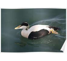 Duck on Blyth river Poster