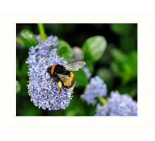 bee on blue flower.. Art Print