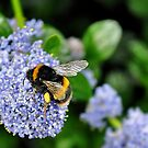 bee on blue flower.. by Michelle McMahon