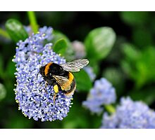 bee on blue flower.. Photographic Print
