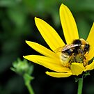 bee on a yellow flower.. by Michelle McMahon