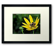 bee on a yellow flower.. Framed Print