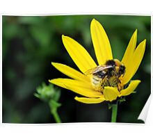 bee on a yellow flower.. Poster
