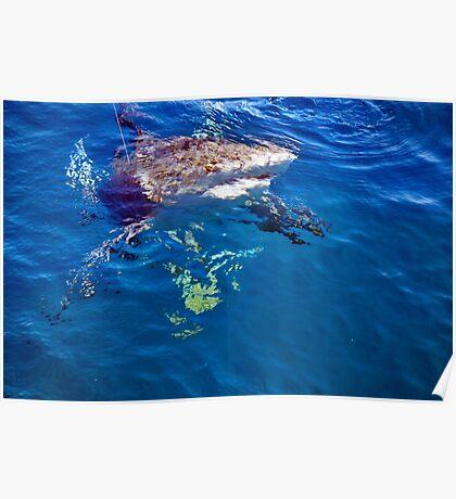 bull shark gulf of mexico Poster