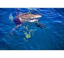 bull shark gulf of mexico Photographic Print