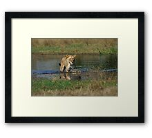 Lioness on the prowl Framed Print
