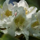 White Rhododendron by marens