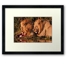 Male Lions Feasting on a kill  Framed Print