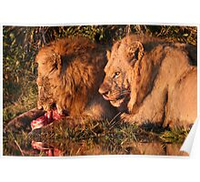 Male Lions Feasting on a kill  Poster