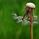 dandelion.. by Michelle McMahon