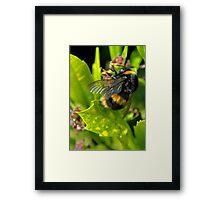 bee close up Framed Print