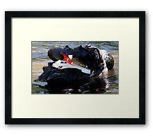 Black Swan Hiding Framed Print