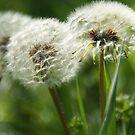 Dandelion by marens