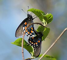 Swallowtails by Rick  Friedle