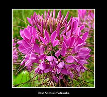 Pink Cleome by Rose Santuci-Sofranko