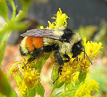 Red-tailed Bumble by sillyfrog
