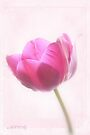 Pink tulip 3 by aMOONy