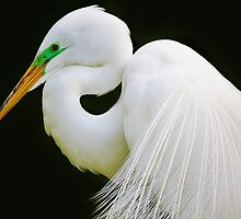 Gorgeous Great White Egret by Paulette1021