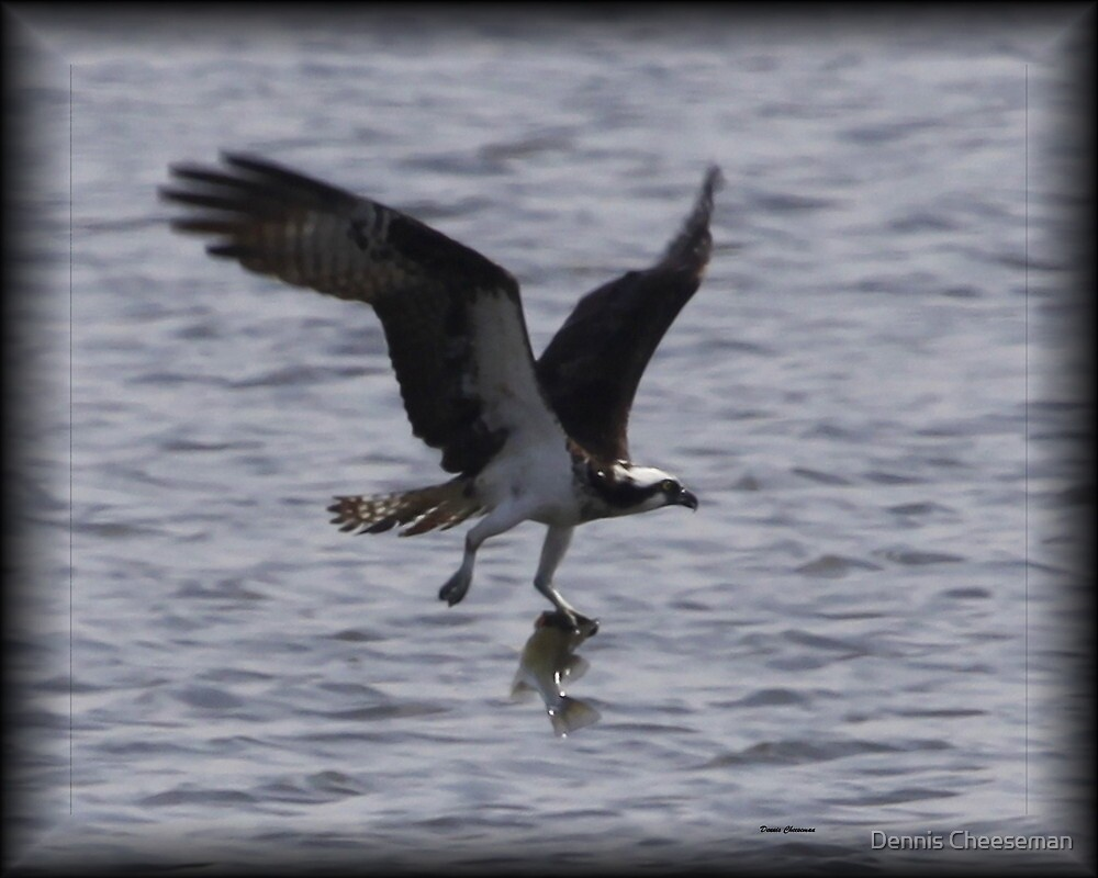 Osprey with lunch by Dennis Cheeseman