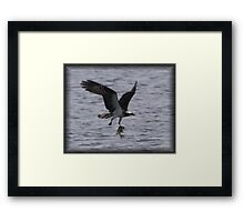 Osprey with lunch Framed Print