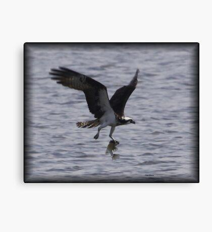 Osprey with lunch Canvas Print