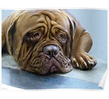 Dog De Bordeux  Poster