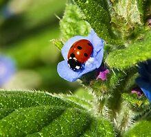 Ladybird, Ladybird ... by Susie Peek