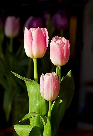 Tulip Trio by Kathy Weaver