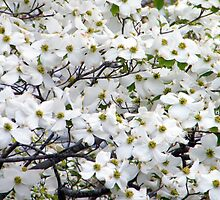 Dogwood Blooms by WeeZie