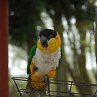 Black-headed Parrot (Pionites melanocephalus) by linzi200