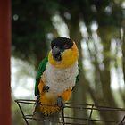 Black-headed Parrot (Pionites melanocephalus) by linzi200