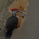pileated woodpecker   by creativegenious