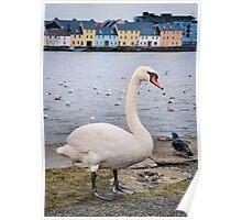 claddagh swan.. Poster