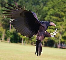 Turkey Vulture in Flight by Paulette1021