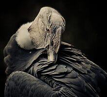 Andean Condor by Natalie Manuel