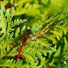Autumn Meadowhawk on Juniper by Steve Borichevsky