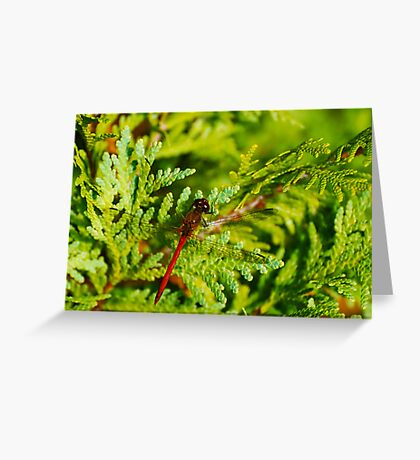 Autumn Meadowhawk on Juniper Greeting Card