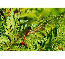 Autumn Meadowhawk on Juniper Photographic Print