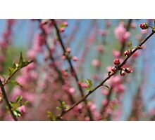 Cherry Blossoms in Beijing - 2 Photographic Print