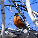 American Robin near the Bitterroot River by amontanaview