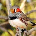 dots and stripes a male finch by Liza Barlow