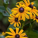 Black-eyed Susans by PhotosByHealy