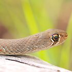 Yellow-faced whip snake by Richard Duffy