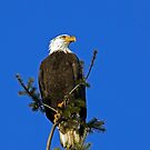 Bald Eagle on Blue by Randall Ingalls