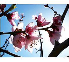 Peach blossoms I Photographic Print
