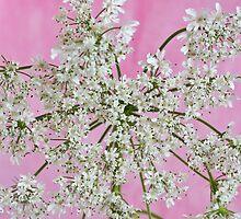 White Wild Cow Parsnip Flower by Sandra Foster
