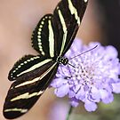 Zebra Butterfly  by Saija  Lehtonen