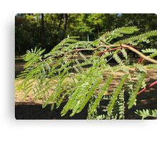 Selective focus on the young acacia branch with leaves and large spikes Canvas Print